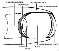 Media file 1: Anatomy of the nail, view from top.