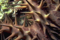 Detail of the crown of thorns starfish spines, which may grow to 6 cm in length. Photo courtesy of Dee Scarr.