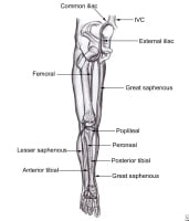 The venous blood system in the leg.