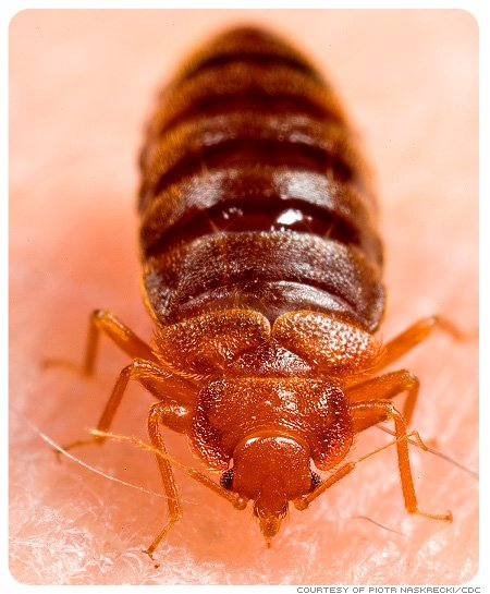 Picture of an adult bedbug