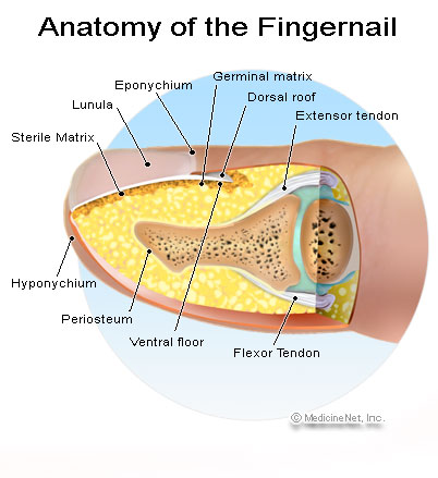 Picture of of the Anatomy of the fingernail. Top - The normal fingernail. Bottom - Nail bed laceration with subungual hematoma