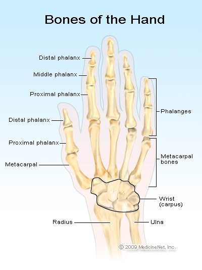 Picture of the bones in the hand