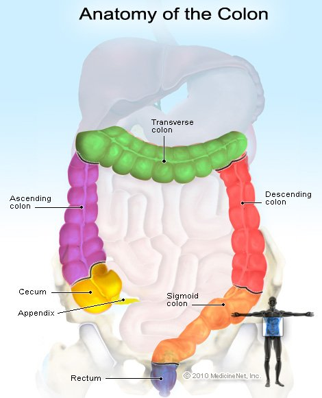Picture of the Colon Anatomy and From Areas Where Rectal Bleeding Arises