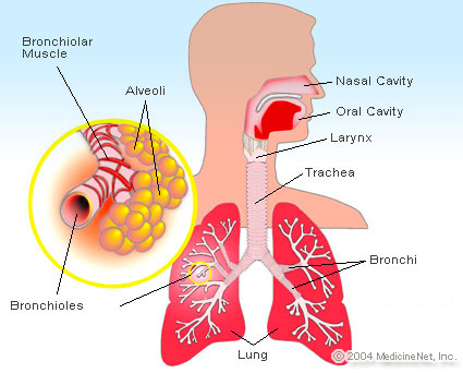 Picture of the upper and lower respiratory tract