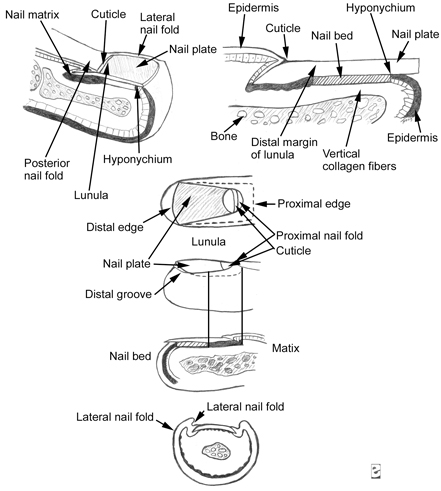 Figure 1: Picture of the anatomy of the nail