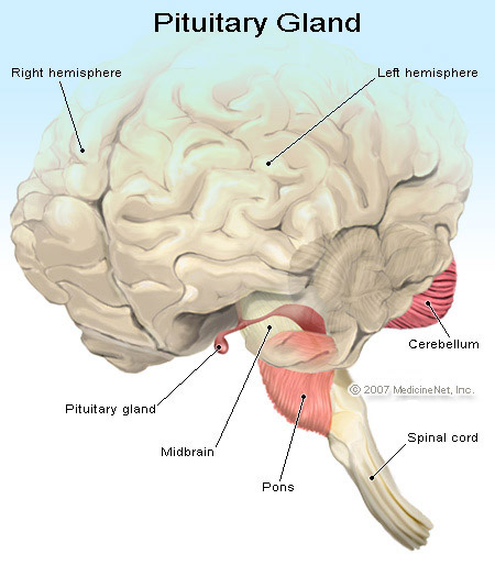 Picture of the Pituitary Gland