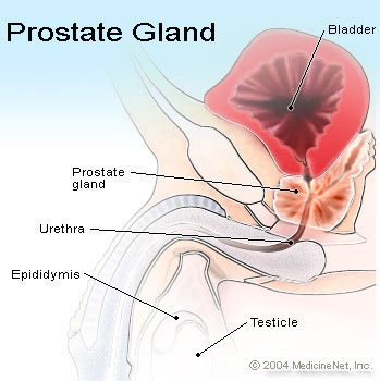 Picture of the Prostate Gland