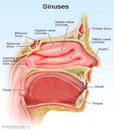 Picture of the detail of the sinuses