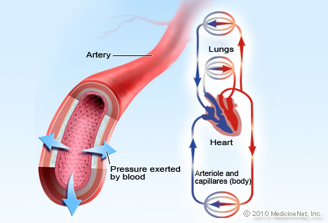 Illustration Picture of Cardiovascular Anatomy