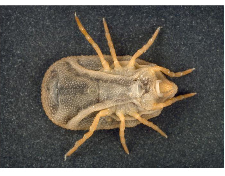 Picture of a soft tick.