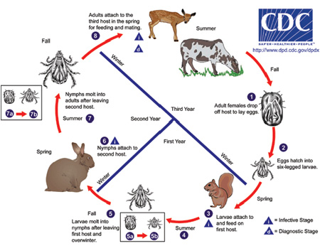 This is the life cycle of ticks; humans are alternate hosts.