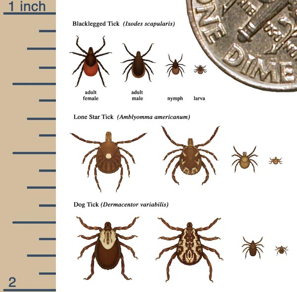 Figure 1: The life cycle of ticks. Source: CDC