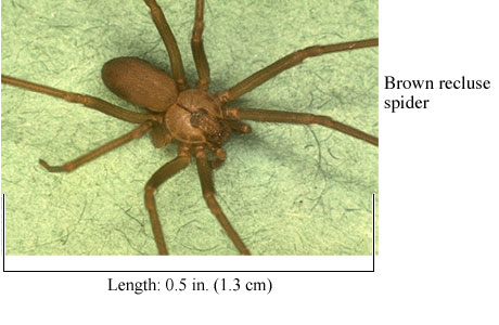 Photo of a brown recluse spider