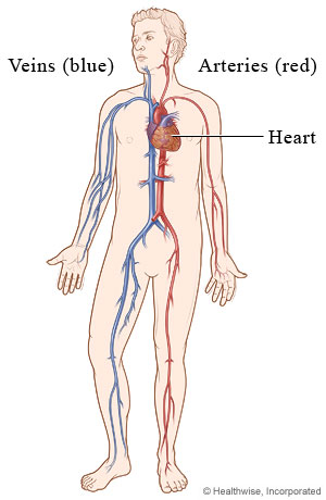 Picture of the cardiovascular system