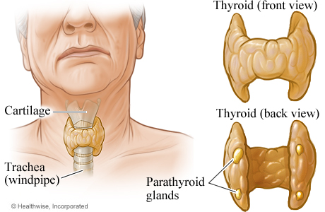 Picture of thyroid and parathyroid glands
