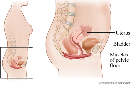 Picture of the location of the pelvic floor muscles