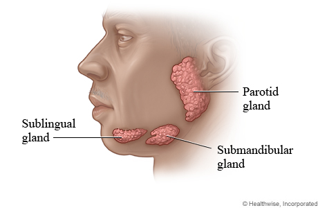 Picture of salivary glands