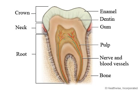 Parts of a tooth