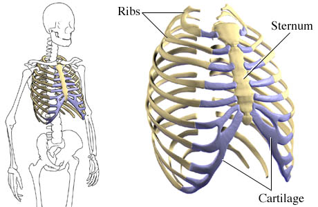 Picture of the rib cage