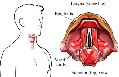Picture of the larynx