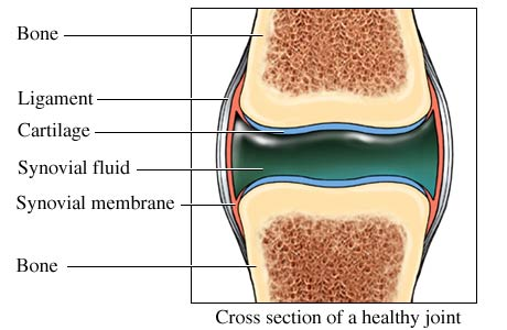 Cross section of a healthy joint