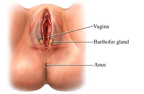 Bartholin glands and their location