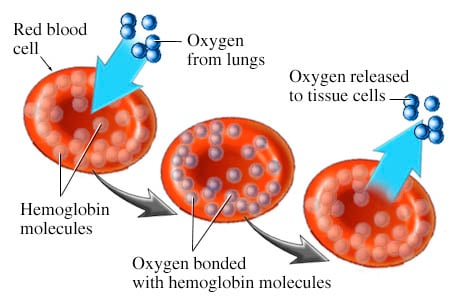 Picture of hemoglobin
