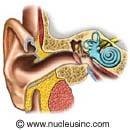 Picture of the anatomy of the ear