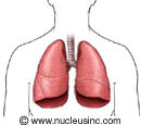 The lungs and where they are in the body