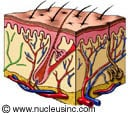 Illustration of the skin in cross-section