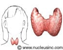Illustration of the thyroid gland