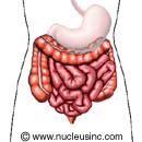 Illustration of the lower digestive system