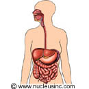 Picture of the digestive system