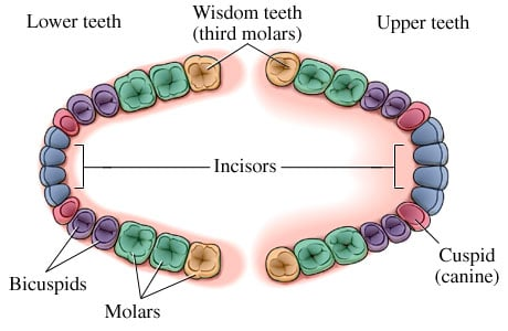 Picture of the location of wisdom teeth (third molars)