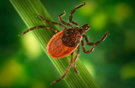 Photo of Western Black-legged Tick