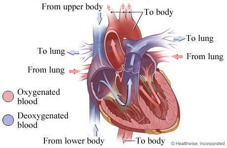 Picture of heart anatomy (blood flow)