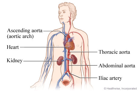 Image of the anatomy of the aorta