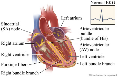 Picture of the heart's electrical system