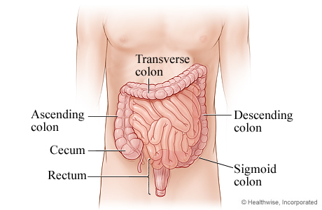 Picture of the parts of the lower digestive system