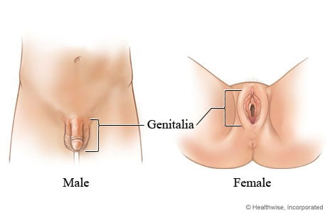The genitals are the sex organs on the outside of the b