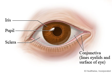 Picture of parts of the eye (outer view)
