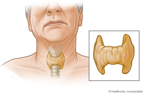 Picture of the thyroid gland and its location in the body