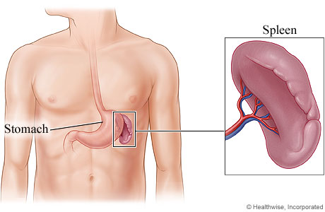 Picture of the spleen and its location in the body