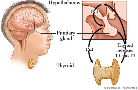 Picture of the thyroid production process.