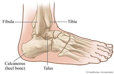 Picture of a side view of the ankle