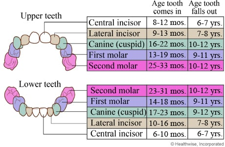 Chart of ages when baby teeth come in and fall out