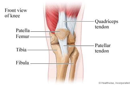 Picture of front view of the bones and tendons of the knee