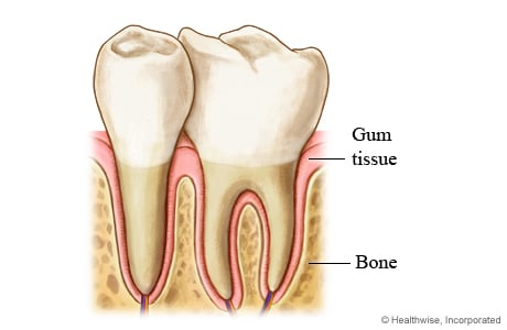 Picture of the periodontium