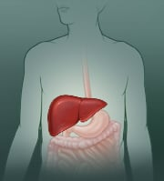 Picture of the liver and digestive system