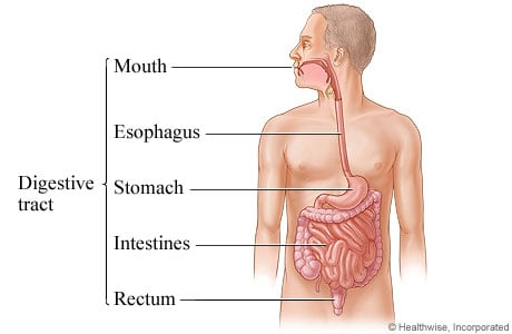 Picture of the digestive tract